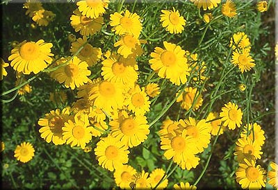 Perennials: Golden Marguerite
