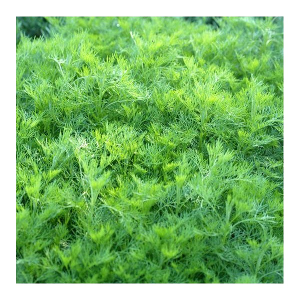 Shrubs: Artemisia Cola Plant