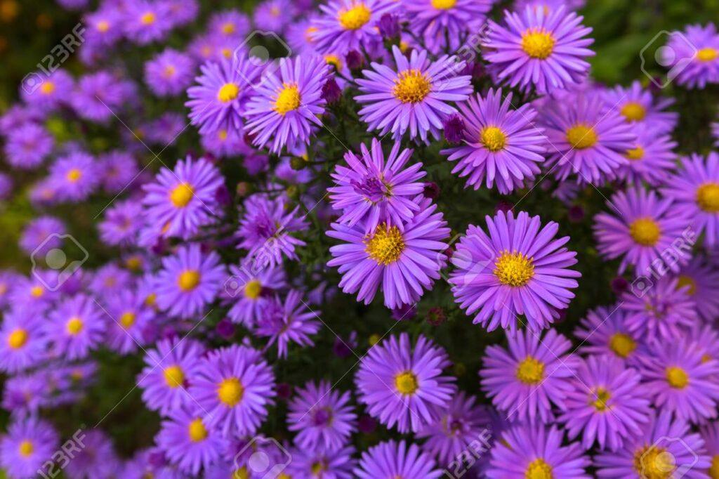 Perennials: purple aster