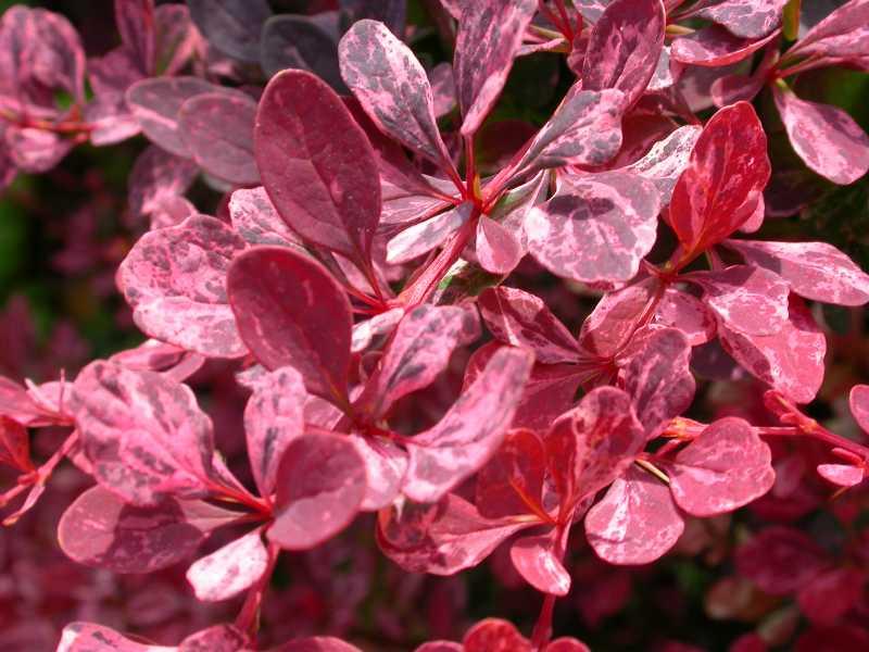 Shrubs: Berberis Rose Glow