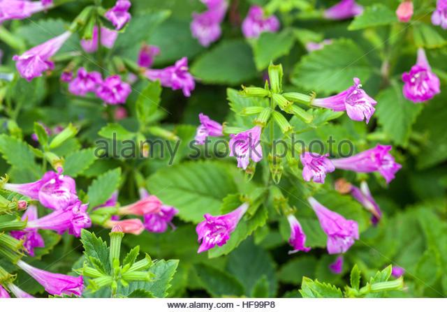 Perennials: Calamintha grandiflora