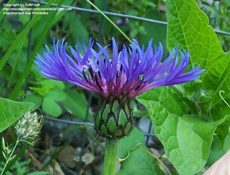 Perennials: Centaurea