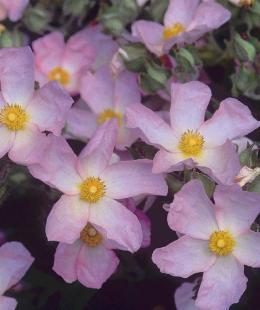 Shrubs: Cistus Grayswood Pink