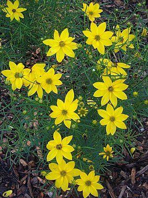 Perennials: Threadleaf Coreopsis