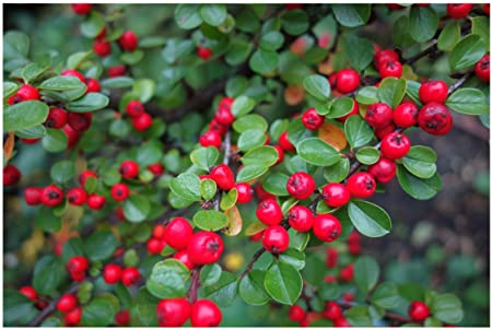 Shrubs: Upright Cotoneaster