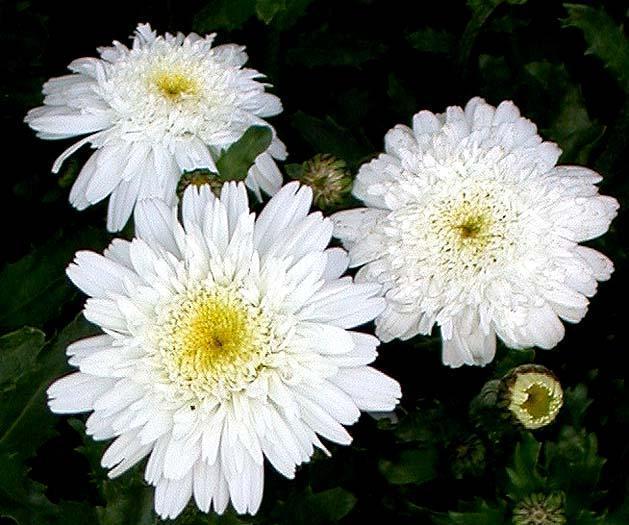 Perennials: Daisy Esther Read