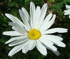 Perennials: Shasta Daisy