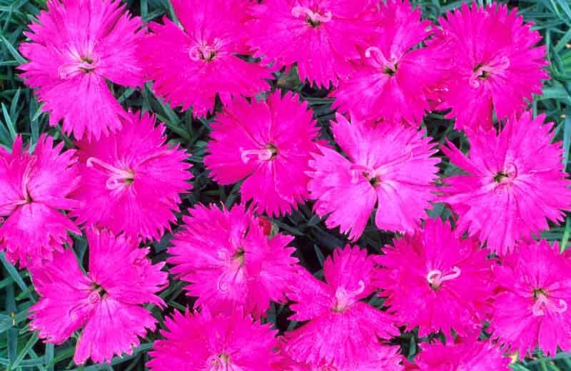 Perennials: Dianthus Neon Star