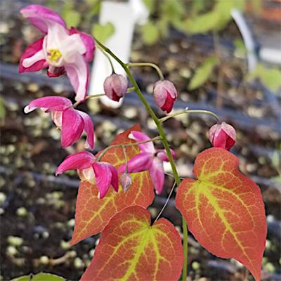 Perennials: Epimedium