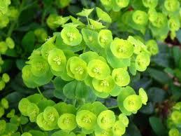 Shrubs: Euphorbia Amygdaloides