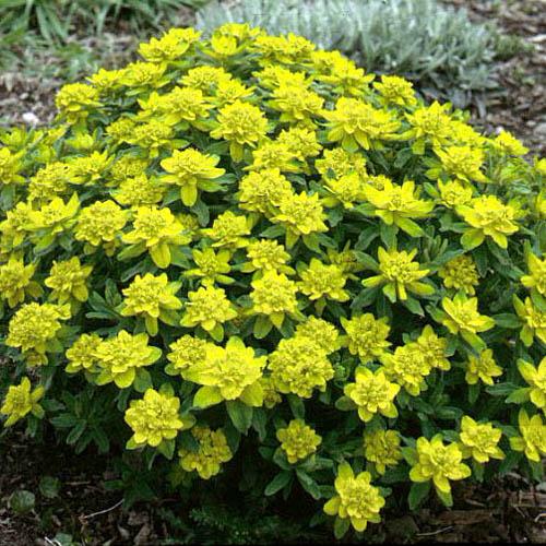 Shrubs: Euphorbia Polychroma