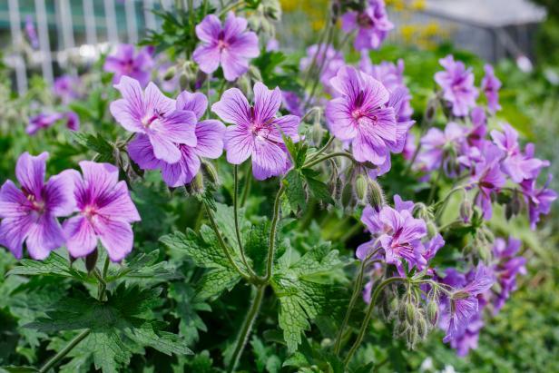 Perennials: Hardy Geranium purple
