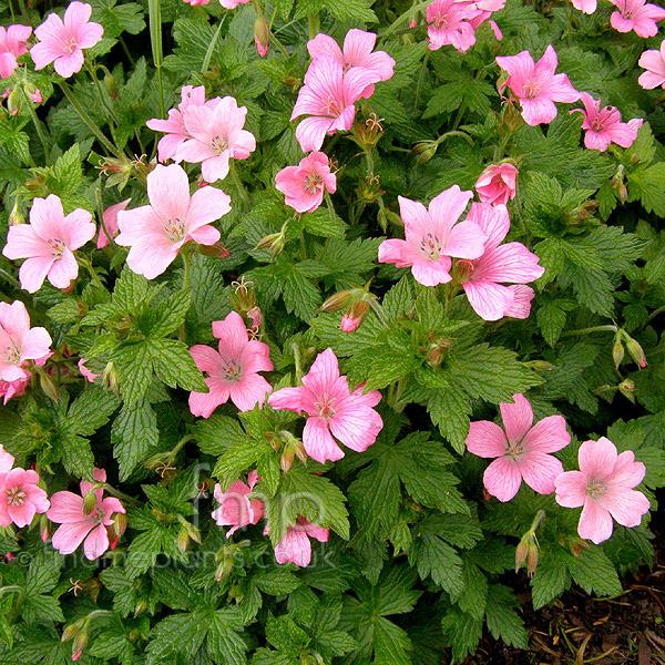 Perennials: Hardy Geranium Wargrave Pink