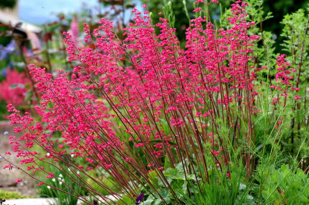 Perennials: Heuchera Coral Bells