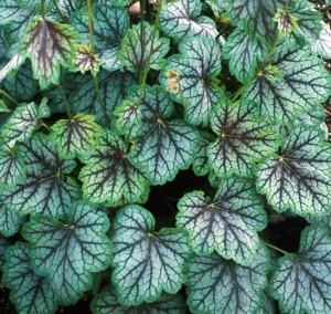 Perennials: Heuchera Green Spice