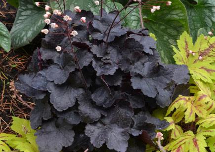 Perennials: Heuchera Obsidian