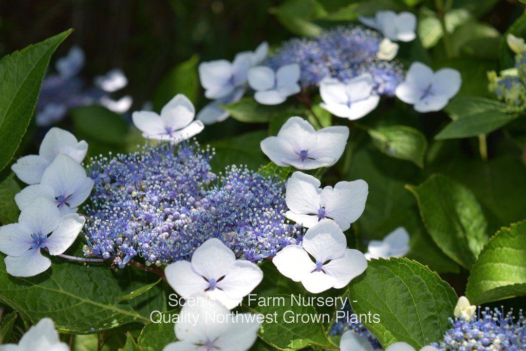 Shrubs: Bluebird Lace-cap Hydrangea