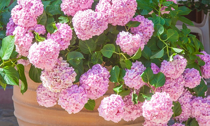 Shrubs: Pink Beauty Hydrangea