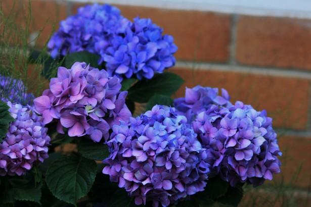Shrubs: Dark Blue Hydrangea