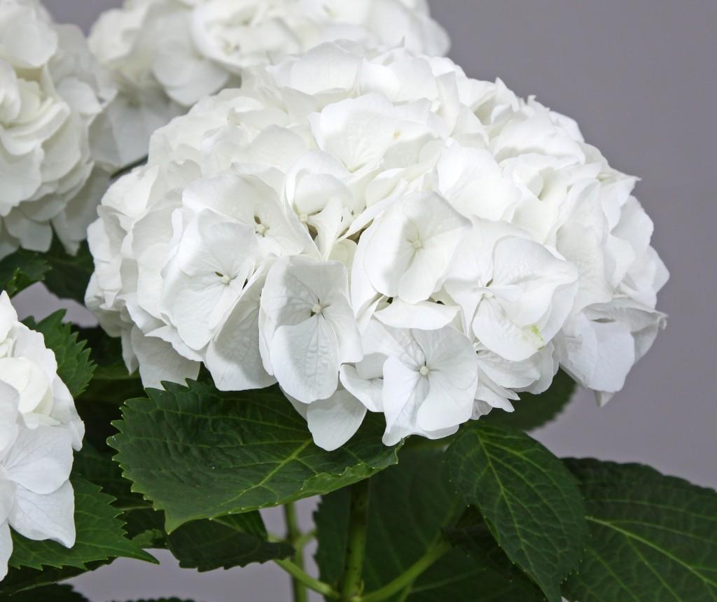 Shrubs: White Hydrangea