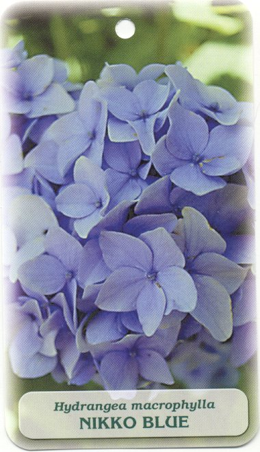 Shrubs: Nikko Blue Hydrangea