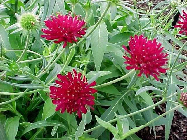 Perennials: Knautia Macedonica