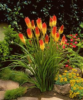 Perennials: Red Hot Poker