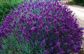 Shrubs: Lavender Hidcote Blue