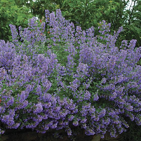 Perennials: Nepeta Walker's Low