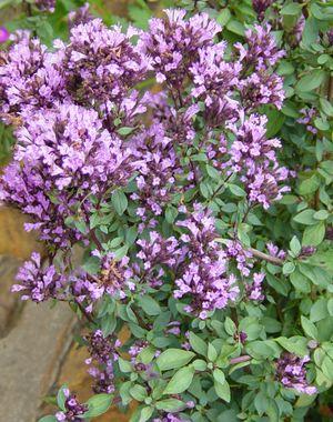 Perennials: Ornamental Hopley's Oregano