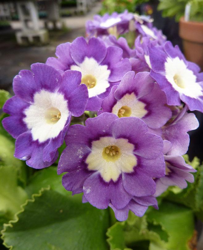 Perennials: Primula Pubescens