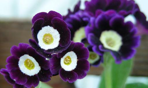 Perennials: Primula Auriula