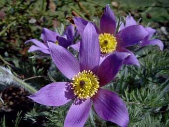 Perennials: Pulsatilla vulgaris