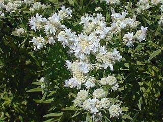 Perennials: Pycnanthemum Virginia Mtn Mint