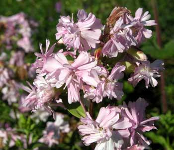 Perennials: Saponaria Bouncing Bet