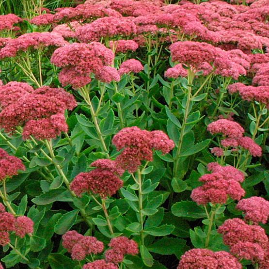 Perennials: Sedum Autumn Joy