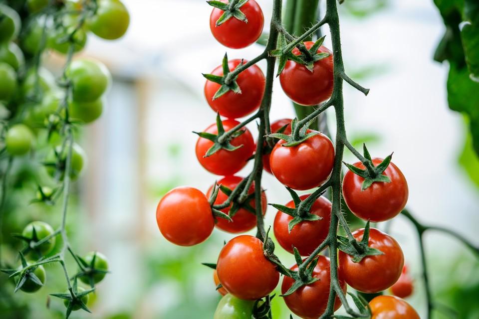 Gardeners Delight cherry tomatoes