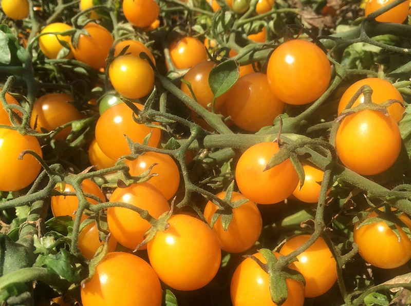 Gold Nugget cherry tomatoes