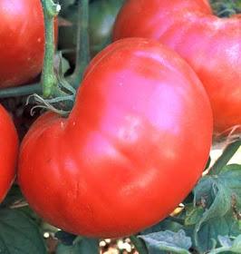 Hendersons Pink Ponderosa tomatoes