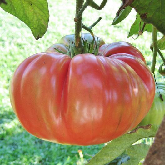 Pink Brandywine tomatoes