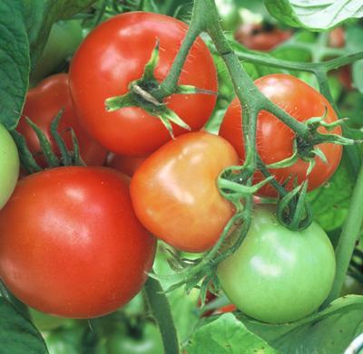 Sub-Arctic Plenty tomatoes