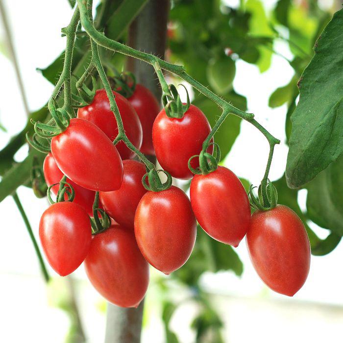 Sugary cherry tomatoes