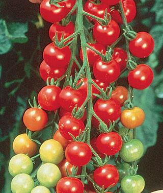 Sweetie cherry tomatoes
