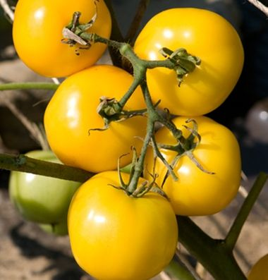 Taxi tomatoes