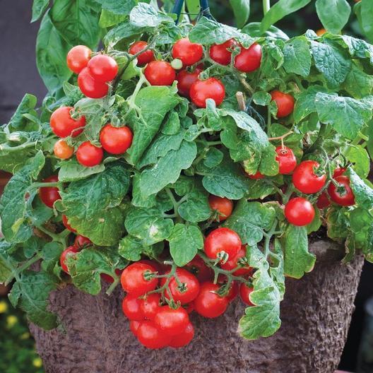 Tiny Tim cherry tomatoes