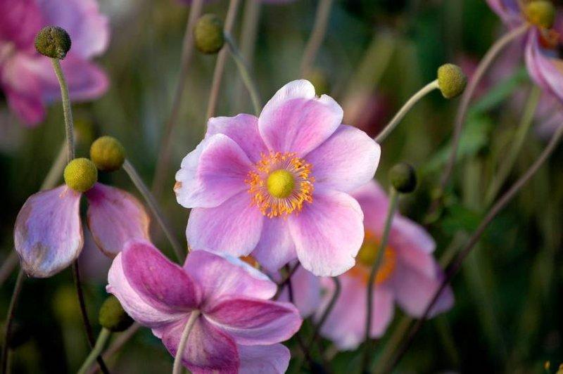 Perennials: Japanese Anemone
