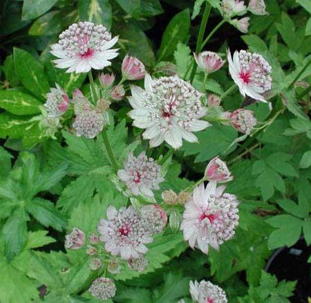 Perennials: Astrantia