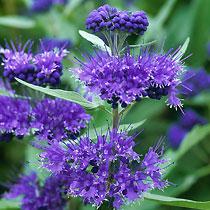 Shrubs: Caryopteris Blue Knoll