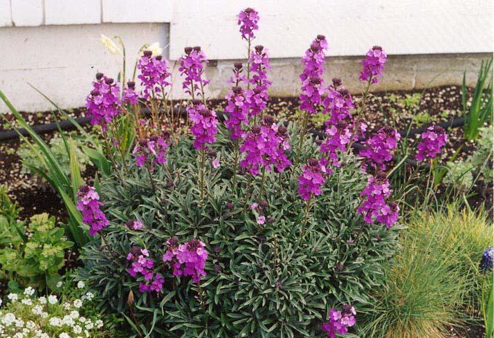 Shrubs: Wallflower Bowles Mauve