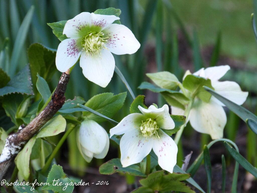 Perennials: Hellebore white freckles